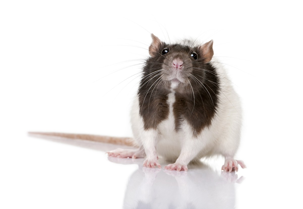 What Human Parents Can Learn from Rat Parents
