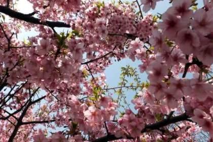 ピンクの大きい花が特徴の河津桜