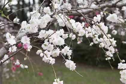 初節句に飾る桃の花