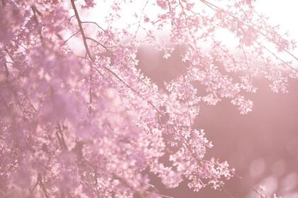 儚く、たおやかなイメージをもつ桜
