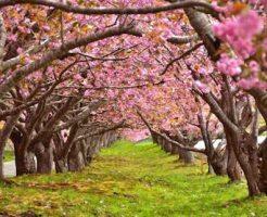 小学1年生の入学時期に咲く桜