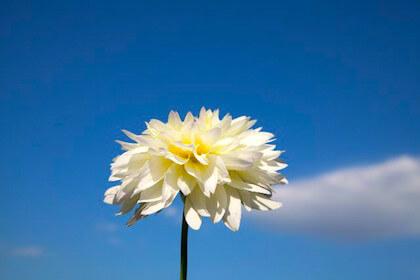 感謝という花言葉をもつダリア