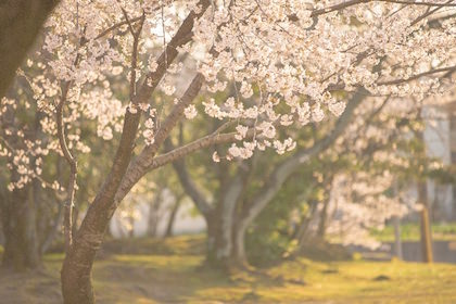 春のやわらかな光に包まれる桜