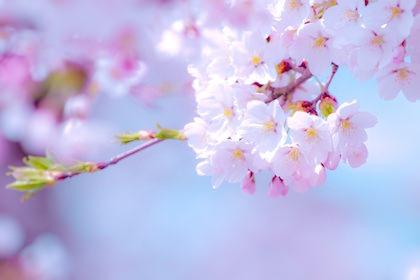 花見といえば多くの人が思い浮かぶ染井吉野(ソメイヨシノ)