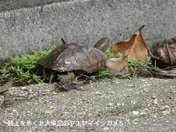 路上を歩く北大東島のヤエヤマイシガメ5