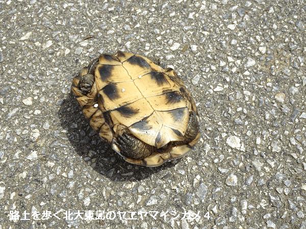 路上を歩く北大東島のヤエヤマイシガメ4