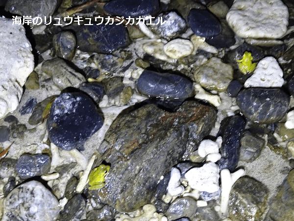 海岸のリュウキュウカジカガエル2