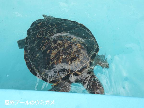 屋外プールのウミガメ