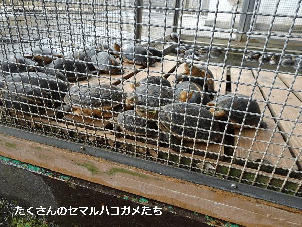 たくさんのセマルハコガメたち