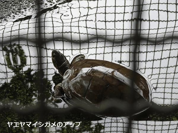 ヤエヤマイシガメのアップ