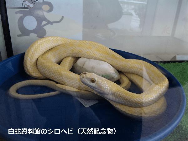 白蛇資料館のシロヘビ