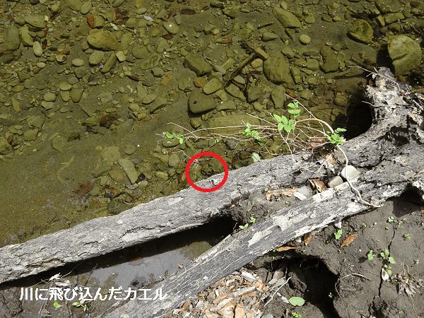 川に飛び込んだカエル