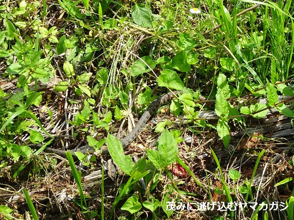 茂みに逃げ込むヤマカガシ
