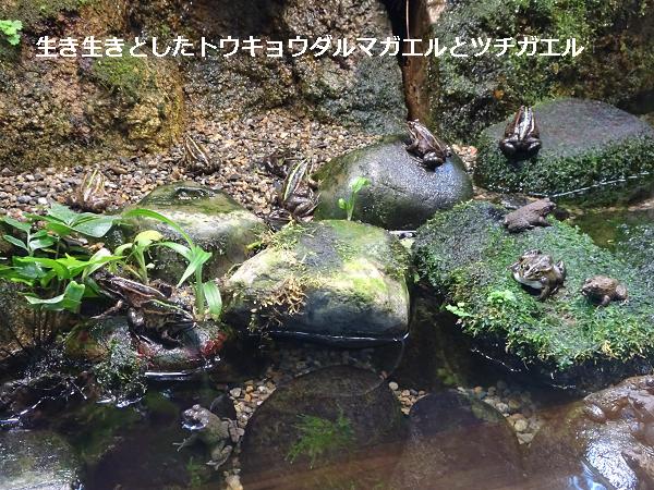 生き生きとしたトウキョウダルマガエルとツチガエル