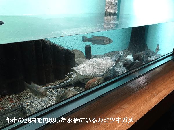 都市公園の池を再現した水槽にいるカミツキガメ
