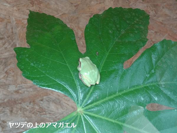 ヤツデの葉の上のアマガエル