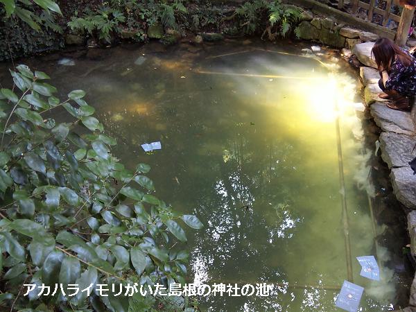 アカハライモリがいた島根の神社の池