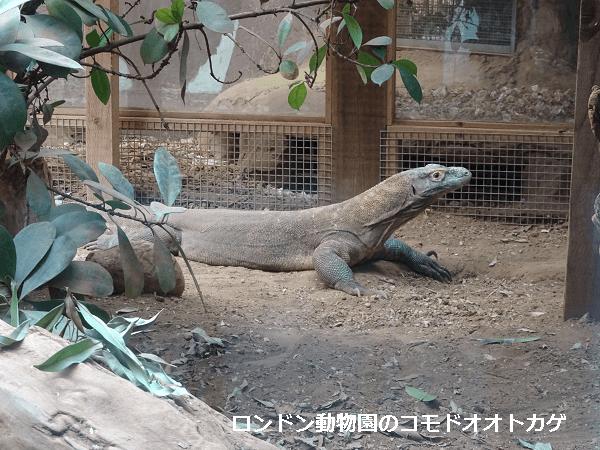 ロンドン動物園のコモドオオトカゲ
