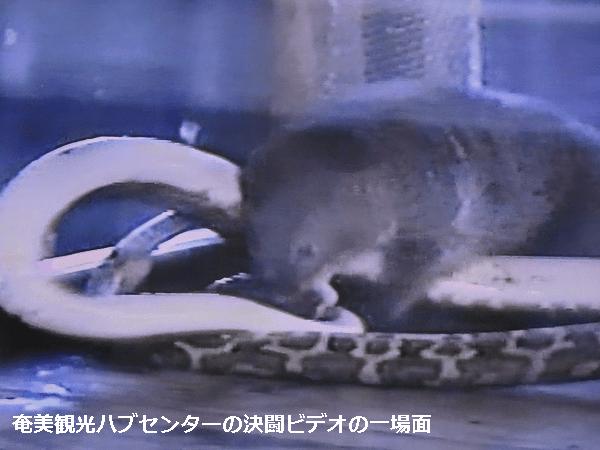 奄美観光ハブセンターのハブとマングースの決闘ビデオの一場面