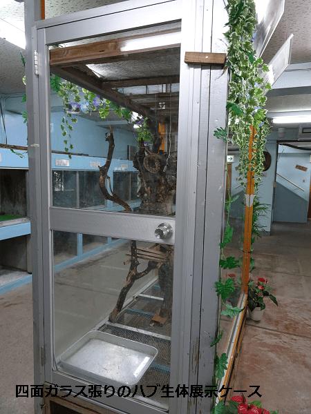 四面ガラス張りのハブ生体展示ケース
