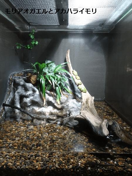 モリアオガエルとアカハライモリの水槽