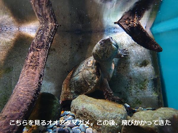 こちらを見るオオアタマガメ