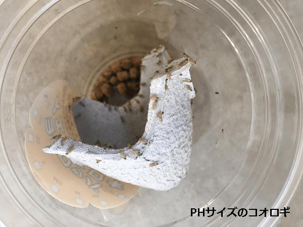 PHサイズコオロギ