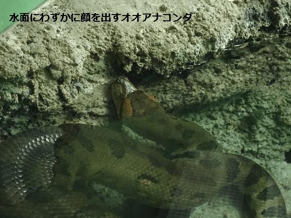 水面にわずかに顔を出すオオアナコンダ