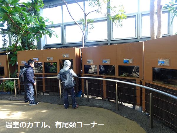 温室のカエル、有尾類コーナー