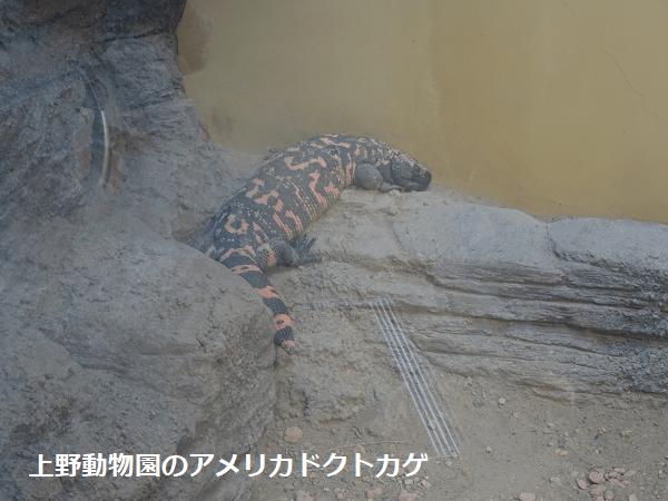 上野動物園のアメリカドクトカゲ