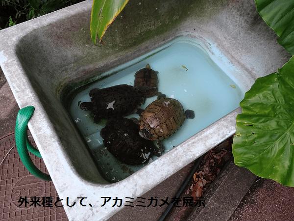 外来種として、アカミミガメを展示