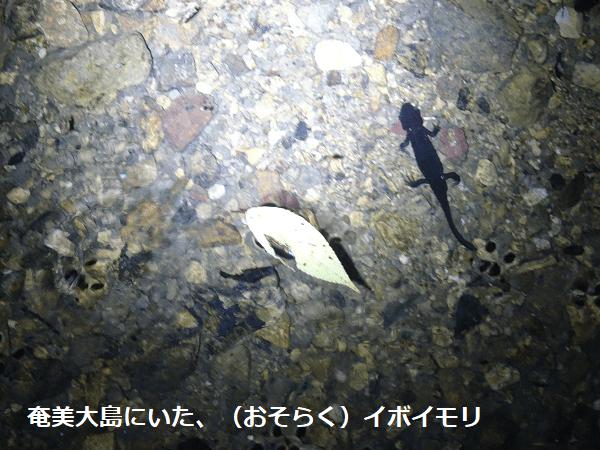 奄美大島にいた、(おそらく)イボイモリ