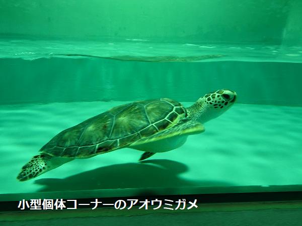 小型個体コーナーのアオウミガメ