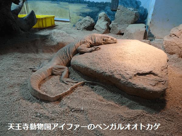 天王寺動物園アイファーのベンガルオオトカゲ