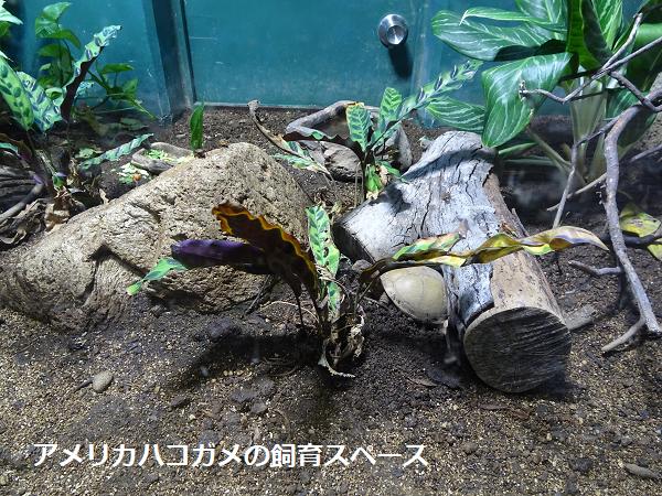 アメリカハコガメの飼育スペース