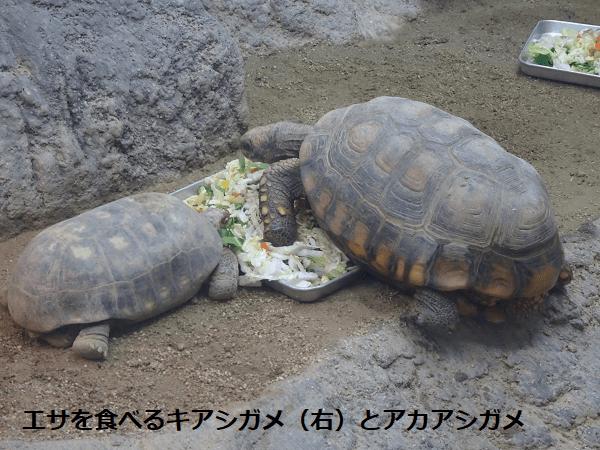 エサを食べるキアシガメ(右)とアカアシガメ