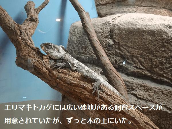 エリマキトカゲには広い砂地がある飼育スペースが用意されていたが、ずっと木の上にいた。