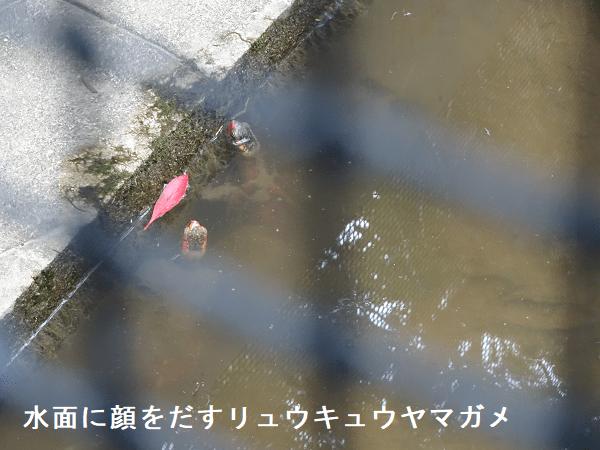 水面に顔をだすリュウキュウヤマガメ