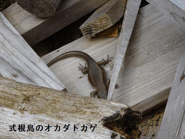 式根島のオカダトカゲ