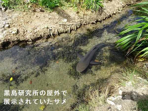 黒島研究所の屋外で展示されていたされていたサメ