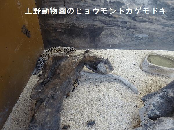 上野動物園のヒョウモントカゲモドキ
