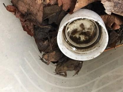 ヒキガエルの子ガエル 大きくなっています6月12日3