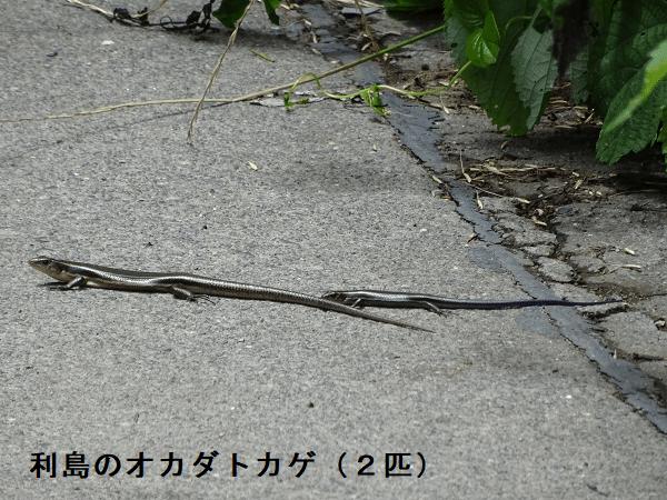 利島のオカダトカゲ(2匹)