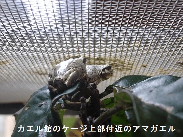 カエル館のケージ上部付近のアマガエル