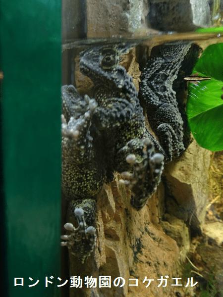 ロンドン動物園のコケガエル