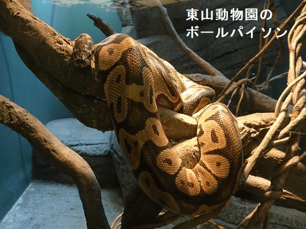 東山動物園のボールパイソン