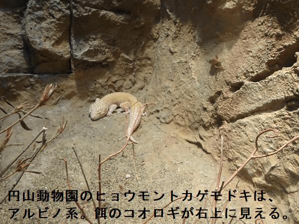 円山動物園のヒョウモントカゲモドキ