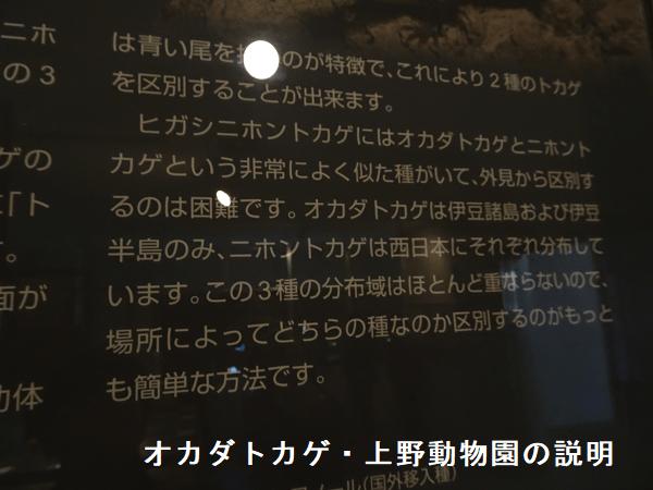 オカダトカゲ・上野動物園の説明