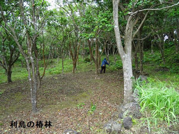 利島の椿林