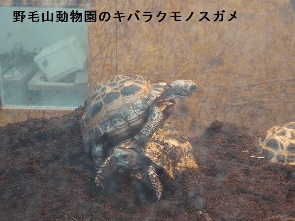 野毛山動物園のキバラクモノスガメ